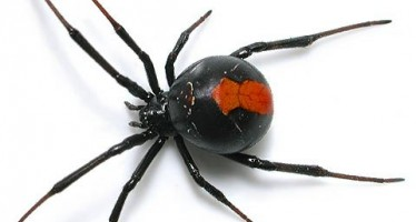 Aussie redback spiders migrating to England: Sun
