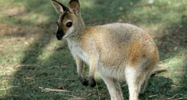 Wallabies attacked in London