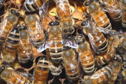 Australian bees in Tasmania