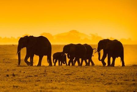 Elephants for Australia?