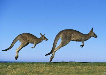 Hopping Kangaroos