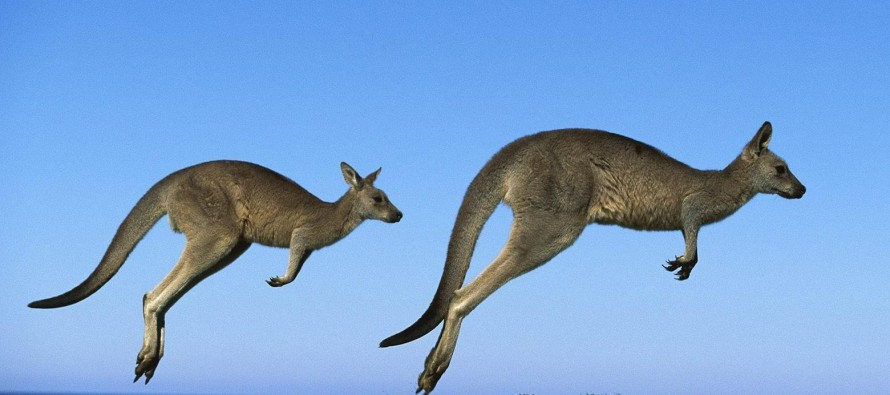 This is a kangaroo. Wait, is it a wallaby?