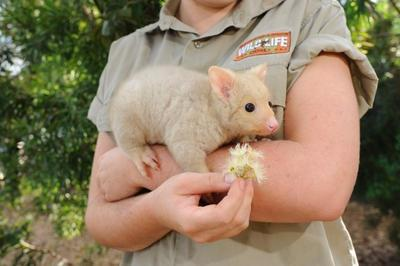 Rare baby golden possum comes out to play | Australian Times