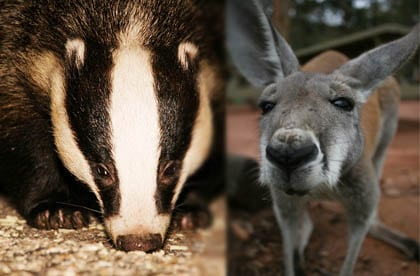 Culling practice of badgers and kangaroo