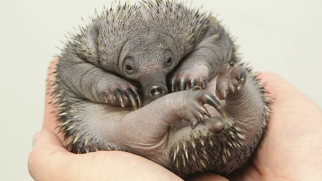baby-echidna at Perth Zoo