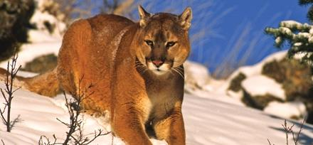 uhcwls Mountain Lion USA-3