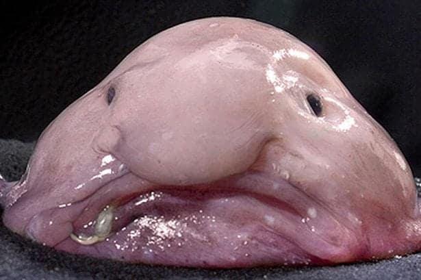 Blobfish wins world's ugliest animal