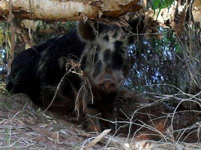 Drunk Pig Dies