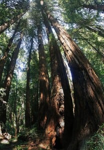 Redwood_trees_in_Muir_Woods_National_Monument,_just_outside_San_Francisco,_California