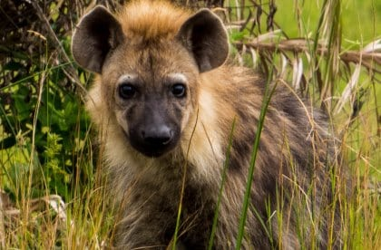 A young hyena in the iSimangaliso Wetland Park