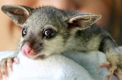 Australia's cutest (and ugliest) baby animals - Australian ...