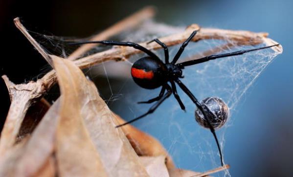 Redback spider - Australia