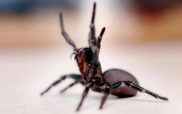 funnel web spider - Australia - deadliest