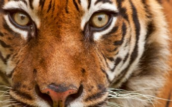 Australian recovering after being mauled by tiger in Thailand