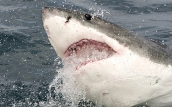 Great white shark pulled from nets at Bondi Beach