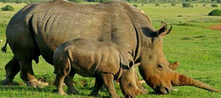 A-rhino-and-her-calf-graze-at-Shamwari-Game-Reserve__1418972192_105.237.219.120-890x395_c