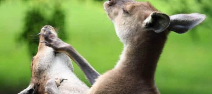 kangaroo_fight