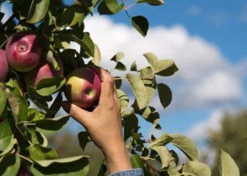 fruitpicking - shutterstock_114917905