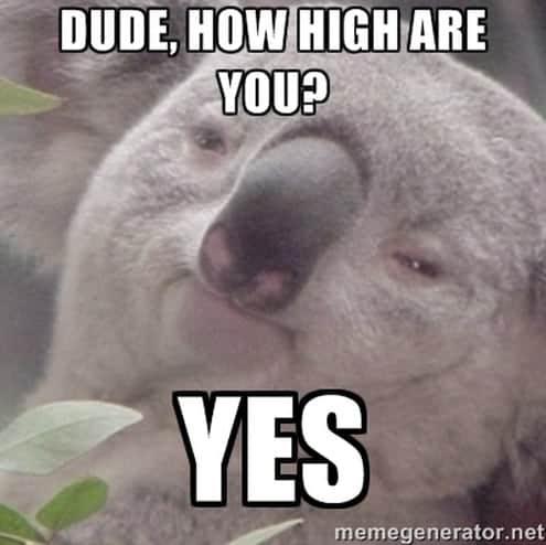 stoned koala