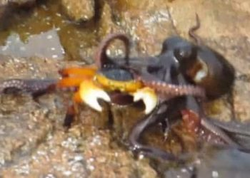 Octopus eats crab