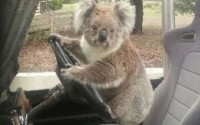 Adorable koala caught driving a car