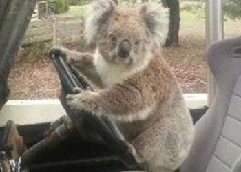 koala driving car 1