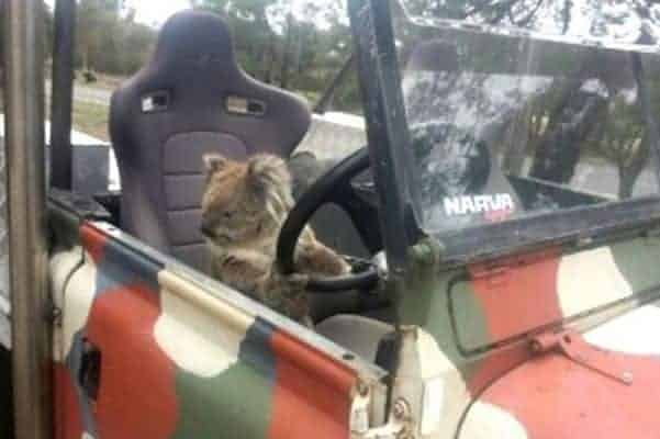 koala driving car