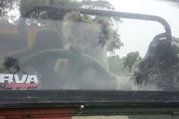 koala driving car 3