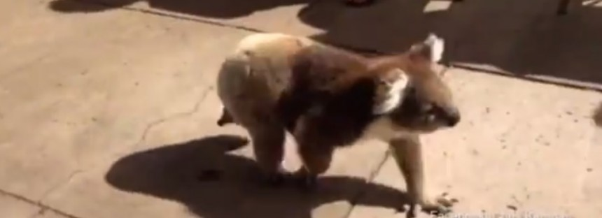 Meanwhile, in Australia: Koala takes a stroll through town [VIDEO]