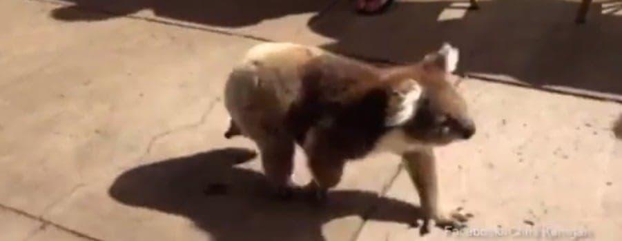 Koala walks through town