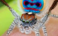 Introducing Australia's hidden gem: the peacock spider