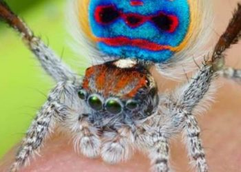 Peacock-spider