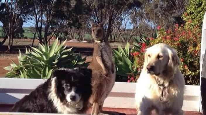 Dusty kangaroo