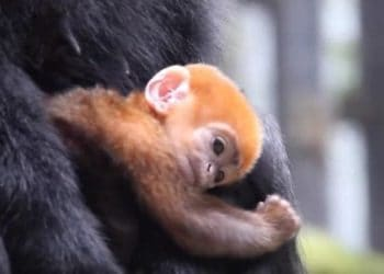 baby monkey pumpkin