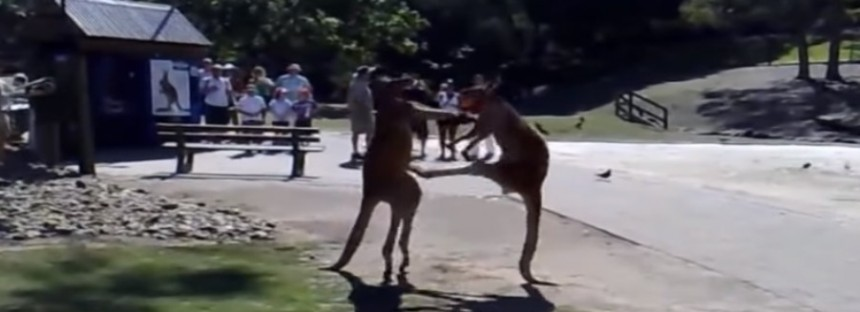 Kung Fu Kangaroos [VIDEO VINE]