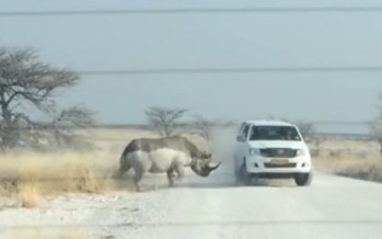 Rhino charges at vehicle filled with tourists [VIDEO]