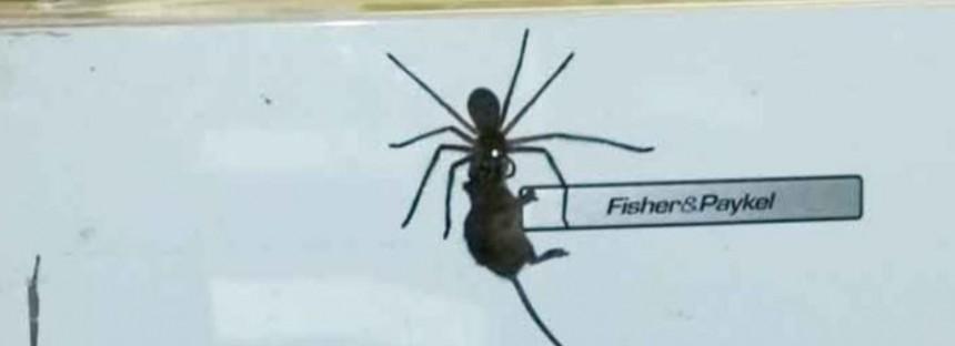 Huge huntsman spider drags mouse to its grisly doom [VIDEO]
