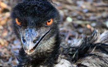 Cranky emu attacks cyclists in Canberra [WATCH]