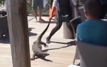 Brave waitress drags huge goanna out of restaurant by the tail [WATCH]