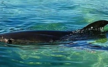 Great white shark takes up residency in Sydney pool