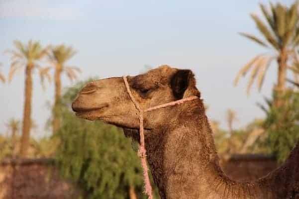 camel-1494724_640