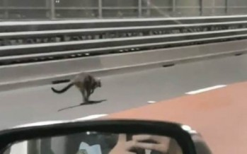 Wallaby bounds across Sydney Harbour Bridge [WATCH]