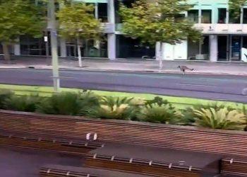 Kangaroo hops down city street - SA Police