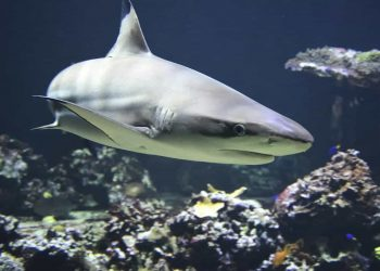 Shark attack in Australia story