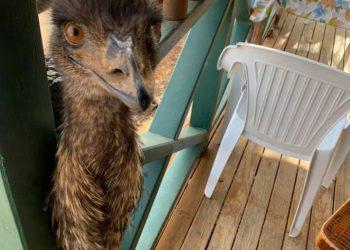 Emu selfie in Yaraka. Photo credit: Senator James McGrath Facebook page