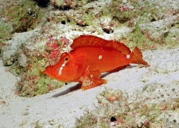 """This Rhinopias agroliba is an exceedingly rare species and appears to """"walk"""" along the seafloor using its pectoral fins. Photo credit: Schmidt Ocean Institute"""