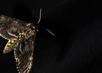 This sensor is so tiny it can be carried by a moth. Photo credit: Mark Stone/University of Washington