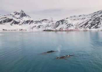 Humpback whales near South Georgia. Photo credit: John Dickens