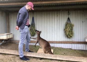 A kangaroo displays gaze alternation between the unsolvable box and a human. The person pictured is lead author Dr Alan McElligott. Photo credit: Alexandra Green. Location: Australian Reptile Park