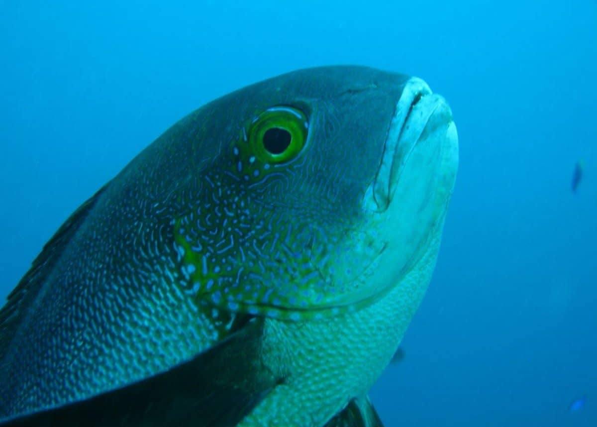 The midnight snapper is a marine fish native to the western Pacific Ocean. Photo credit: Dr Brett Taylor